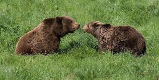 Cantabrian Bears